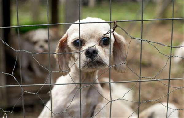 """<div class=""""meta image-caption""""><div class=""""origin-logo origin-image """"><span></span></div><span class=""""caption-text"""">More than 50 dogs are receiving medical attention after a bust at a suspected puppy mill in Rutherford County. (WTVD Photo/ Humane Society)</span></div>"""