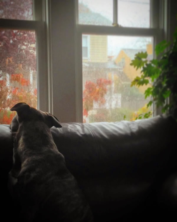 "<div class=""meta image-caption""><div class=""origin-logo origin-image none""><span>none</span></div><span class=""caption-text"">This photo shows a dog looking at  the rain oustide on Thursday, December 3, 2015. (Photo submitted to KGO-TV by @sonomavalleygal/Twitter)</span></div>"