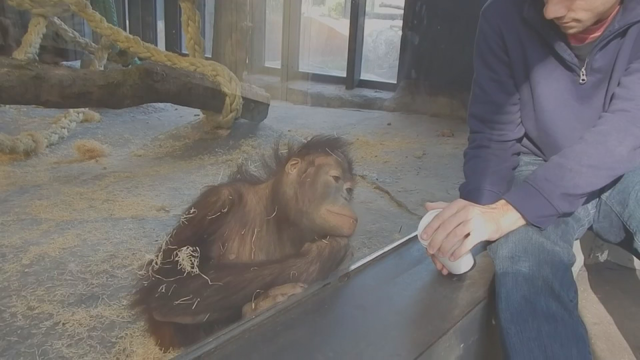 Orangutan laughs at trick