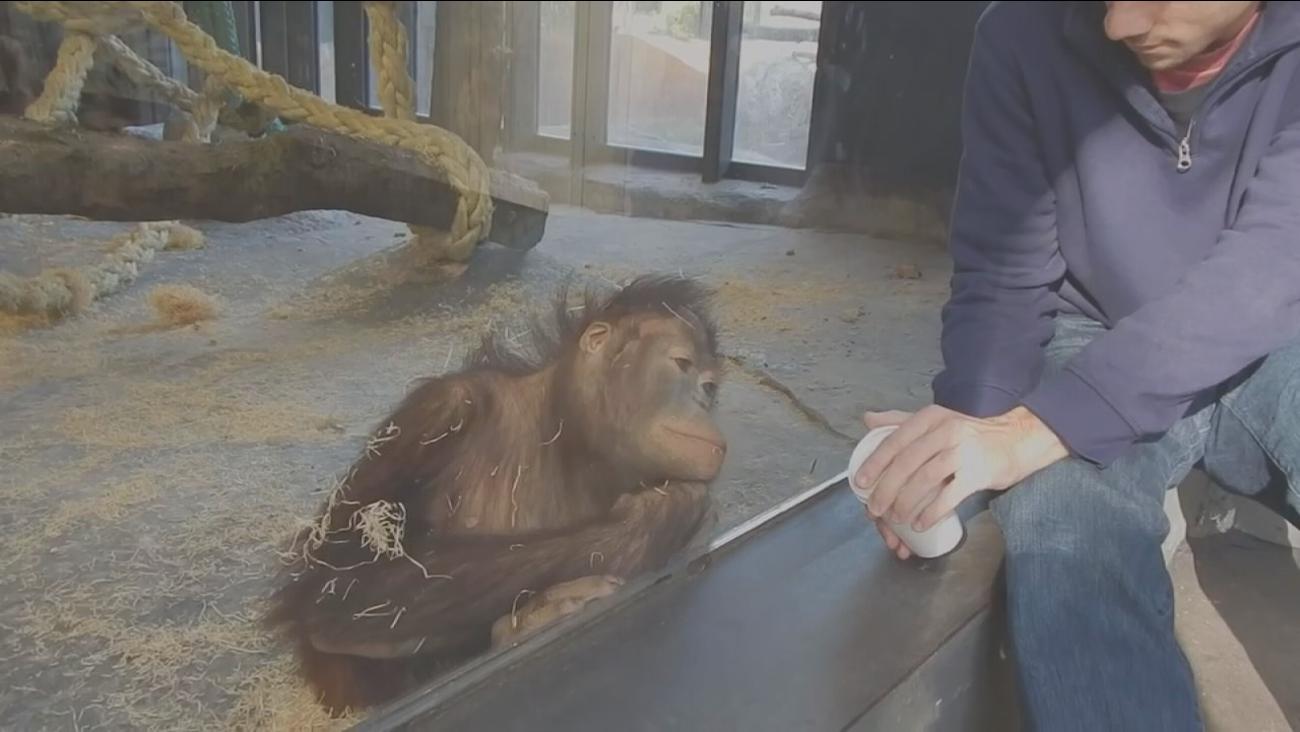 Orangutan laughs at trick