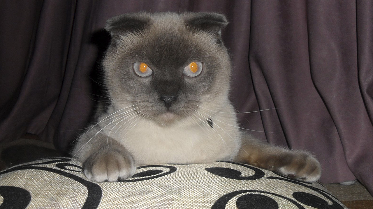 A Siamese cat named Barsik in Barnaul, The Siberian city of 650,000 people Saturday, Dec. 19, 2015, and it seems the residents of Barnaul want Barsik the cat to be their next mayor