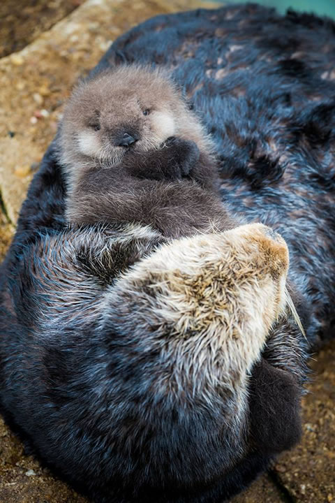 "<div class=""meta image-caption""><div class=""origin-logo origin-image none""><span>none</span></div><span class=""caption-text"">A wild baby sea otter was born at the Monterey Bay Aquarium's Great Tide Pool in Monterey, Calif. on Sunday, December, 20, 2015. (Monterey Bay Aquarium)</span></div>"
