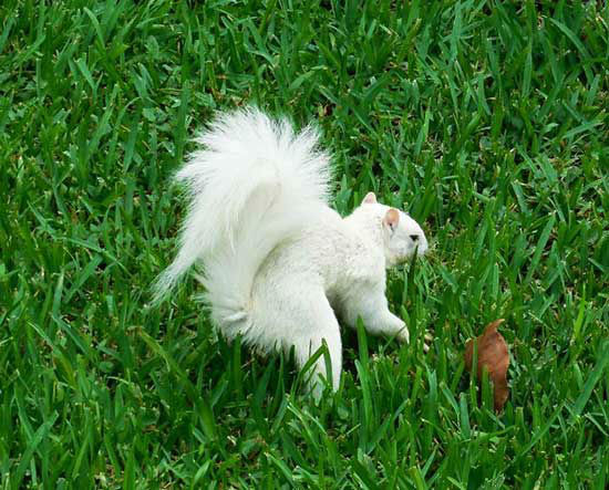 "<div class=""meta image-caption""><div class=""origin-logo origin-image none""><span>none</span></div><span class=""caption-text"">Jack Cross of Texas City sent us these photos of  rare white squirrels that he's trained!</span></div>"
