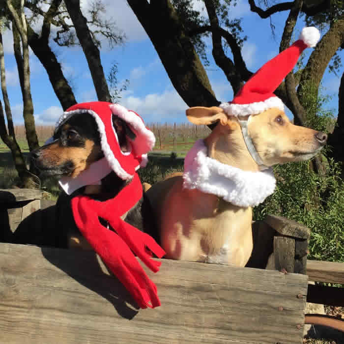 "<div class=""meta image-caption""><div class=""origin-logo origin-image none""><span>none</span></div><span class=""caption-text"">Two dogs are seen wearing holiday hats in this undated image. (Photo sent to KGO-TV by @fortheloveofjackson/Instagram)</span></div>"
