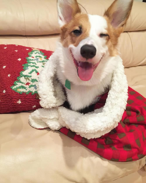 "<div class=""meta image-caption""><div class=""origin-logo origin-image none""><span>none</span></div><span class=""caption-text"">A dog sitting on a couch next to a holiday pillow is seen in this undated image. (Photo sent to KGO-TV by @aviciithecorgi/Instagram)</span></div>"