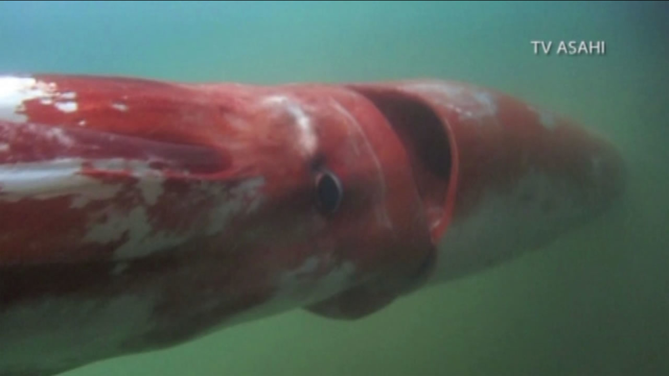 A giant squid was caught on camera in Japan's Toyama Bay on Dec. 24, 2015.