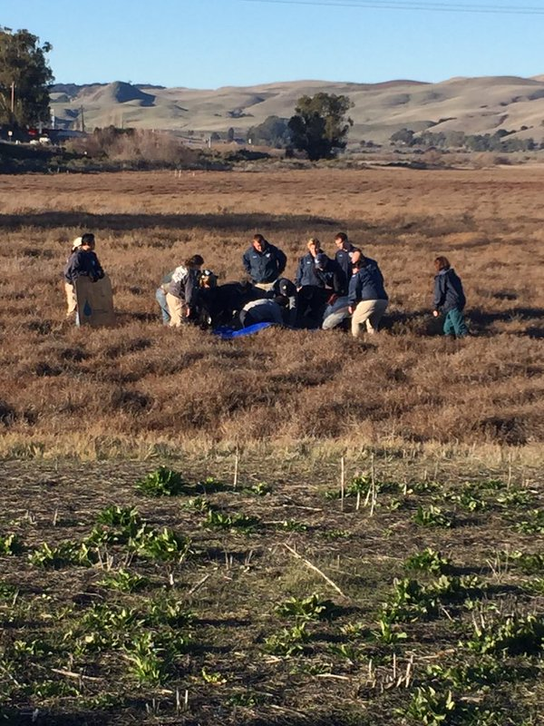 "<div class=""meta image-caption""><div class=""origin-logo origin-image none""><span>none</span></div><span class=""caption-text"">Vets sedated the elephant seal attempting to cross a Sonoma County Highway on Tuesday, December 29, 2015. (KGO-TV)</span></div>"