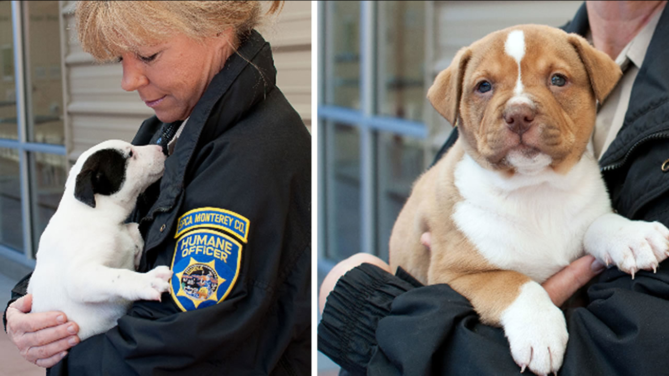 The SPCA in Monterey County is looking for the siblings of three adorable pit bull mix puppies that were sold illegally.