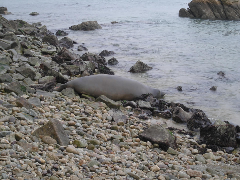 "<div class=""meta image-caption""><div class=""origin-logo origin-image none""><span>none</span></div><span class=""caption-text"">""Tolay"" the elephant seal pictured at her initial release location at Point Reyes National Seashore, Calif. on Tuesday, December 29, 2015. (NPS Photo/Sarah Codde/NMFS Permit No. 17152-00)</span></div>"