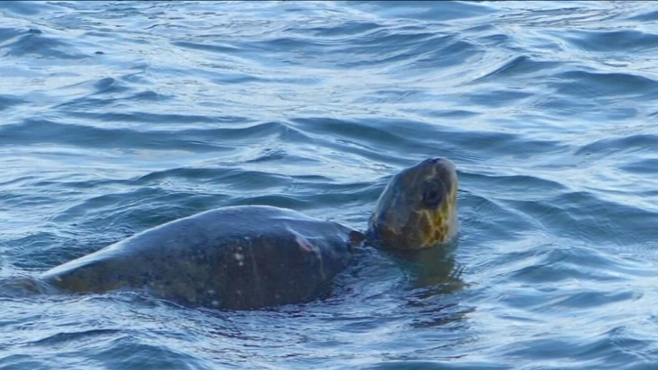 Visitors to Pt. Reyes spotted a rare olive ridley sea turtle swimming in the water Dec. 30, 2015.