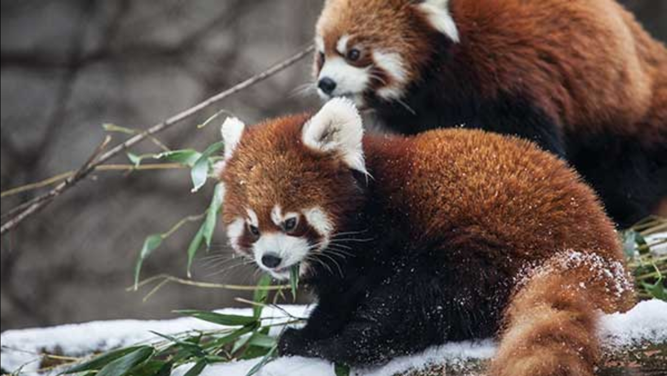 Lincoln Park Zoo's red panda cubs played in the snow for the first time on Wednesday.