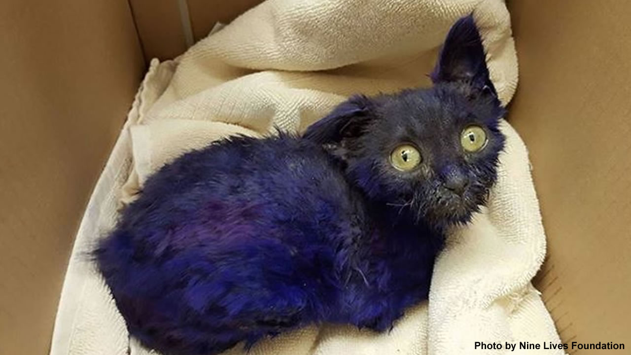 "A dyed blue cat named ""Smurf"" was rescued from a home and taken to the Nine Lives Foundation in Redwood City, Calif."