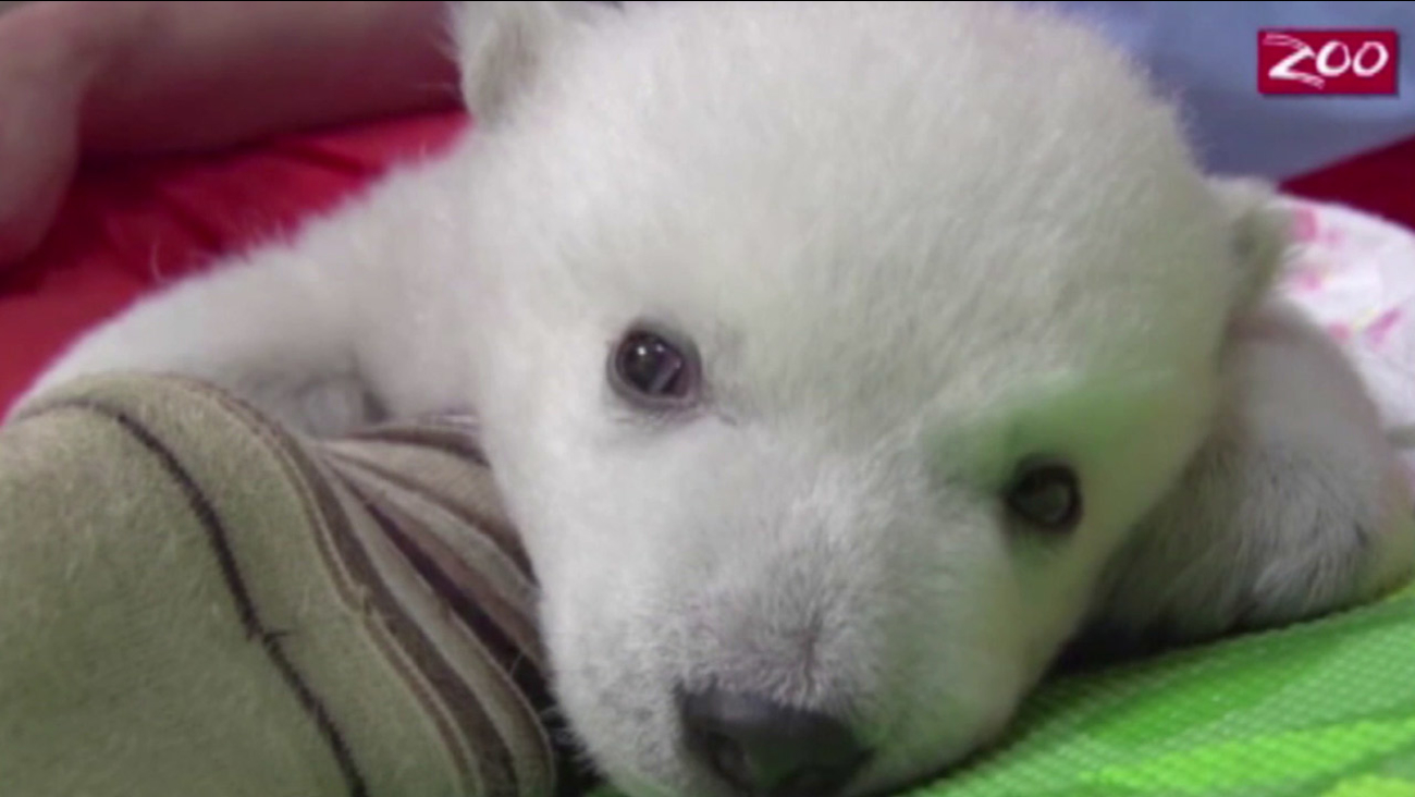 A polar bear cub is shown in a video captured by Columbus Zoo and Aquarium staff.