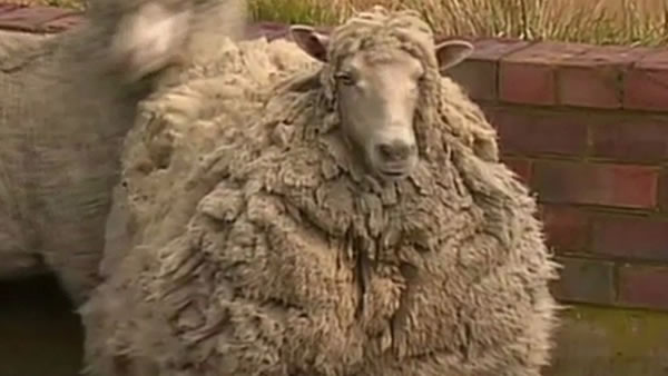 Shiela the sheep hadn't gotten a haircut in seven years after escaping from an Austrlian farm.