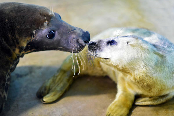 "<div class=""meta image-caption""><div class=""origin-logo origin-image none""><span>none</span></div><span class=""caption-text"">A gray seal pup with her mom Lily. The pup, born on January 2, 2016, is the year's first birth at Brookfield Zoo. (Jim Schulz/Chicago Zoological Society)</span></div>"