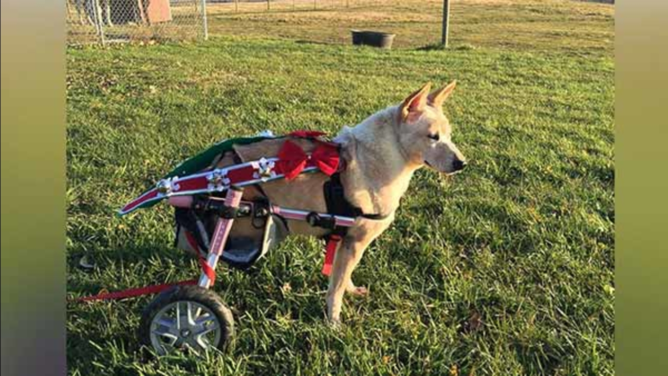 Dog with cut off hind legs, broken spine gets new life