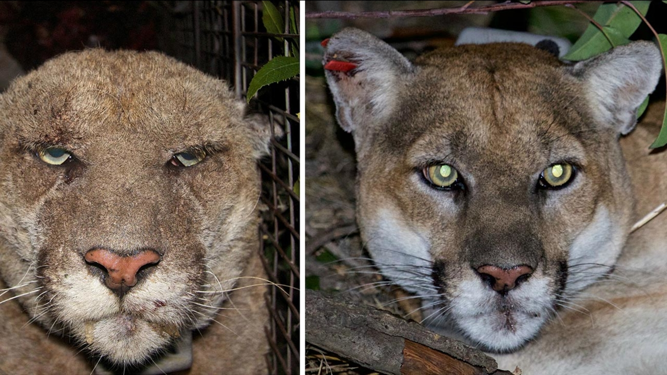 The photo on the left shows P-22 suffering from mange in March 2014. The photo on the right shows P-22 in December 2015.