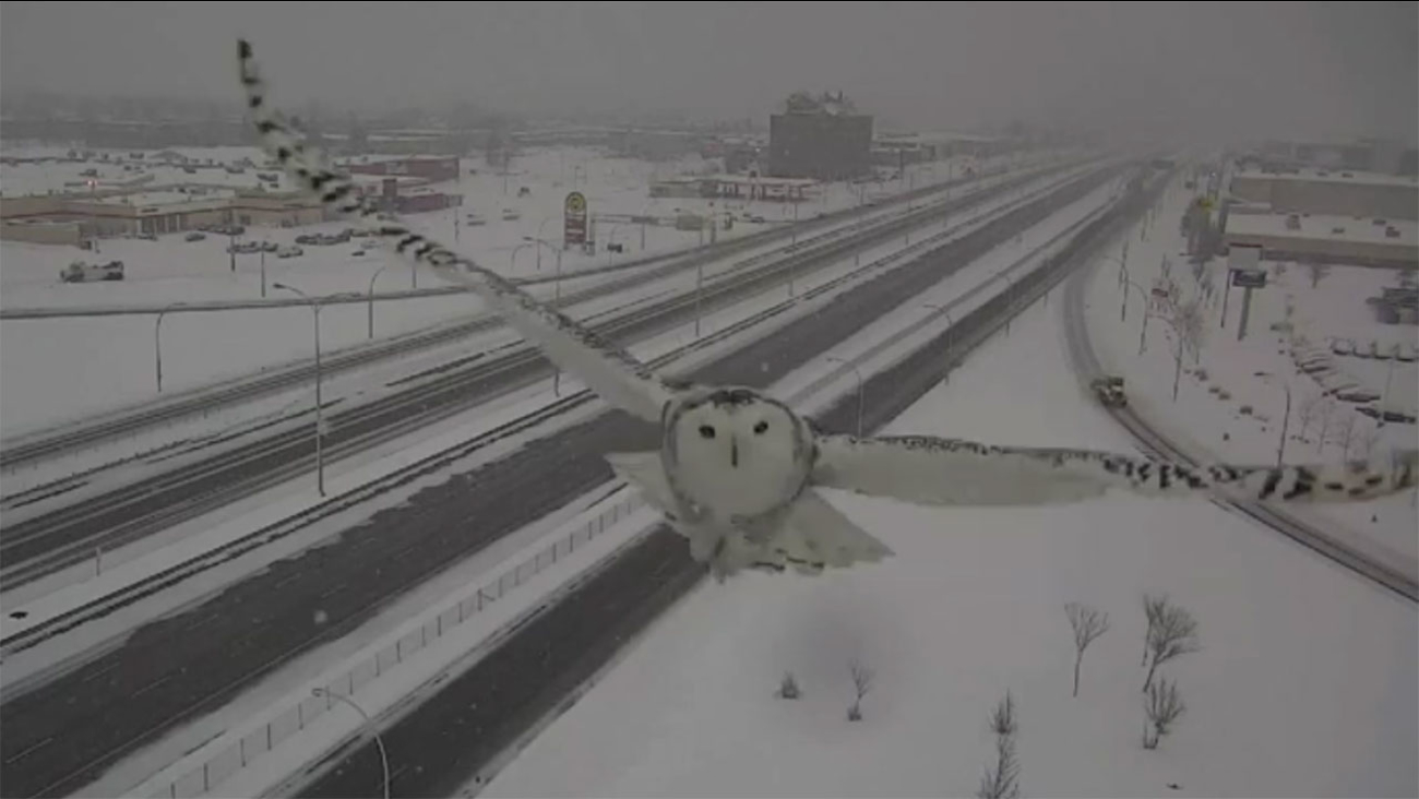 Snowy Owl Caught In Majestic Flight Evokes Harry Potter References