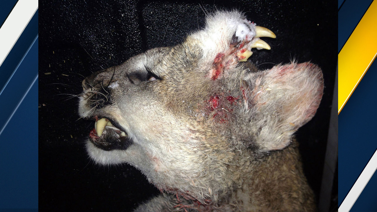 A mountain lion harvested in Idaho is shown with a deformity on its head in an undated photo.