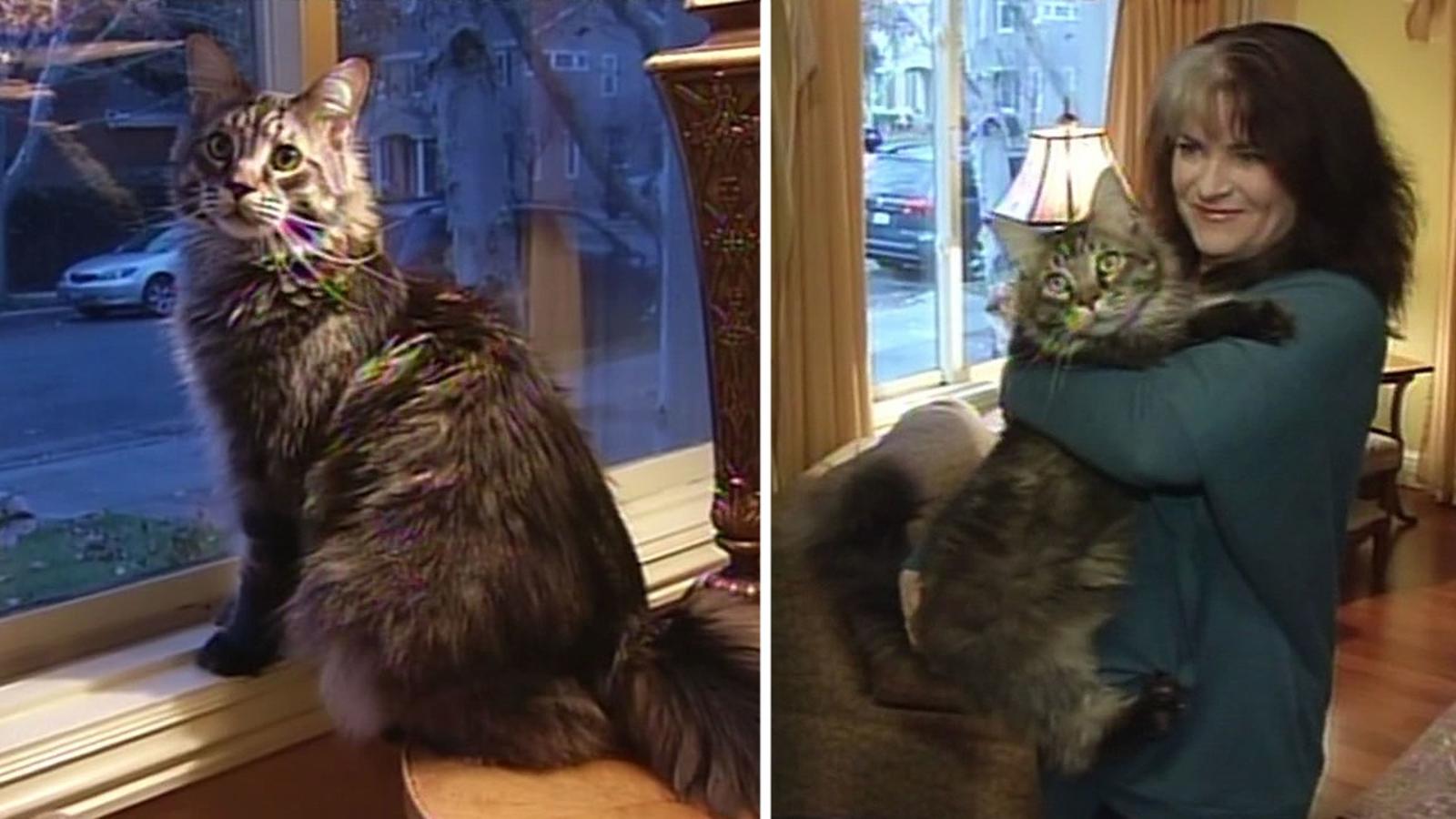 Big San Jose house cat gets mistaken for bobcat