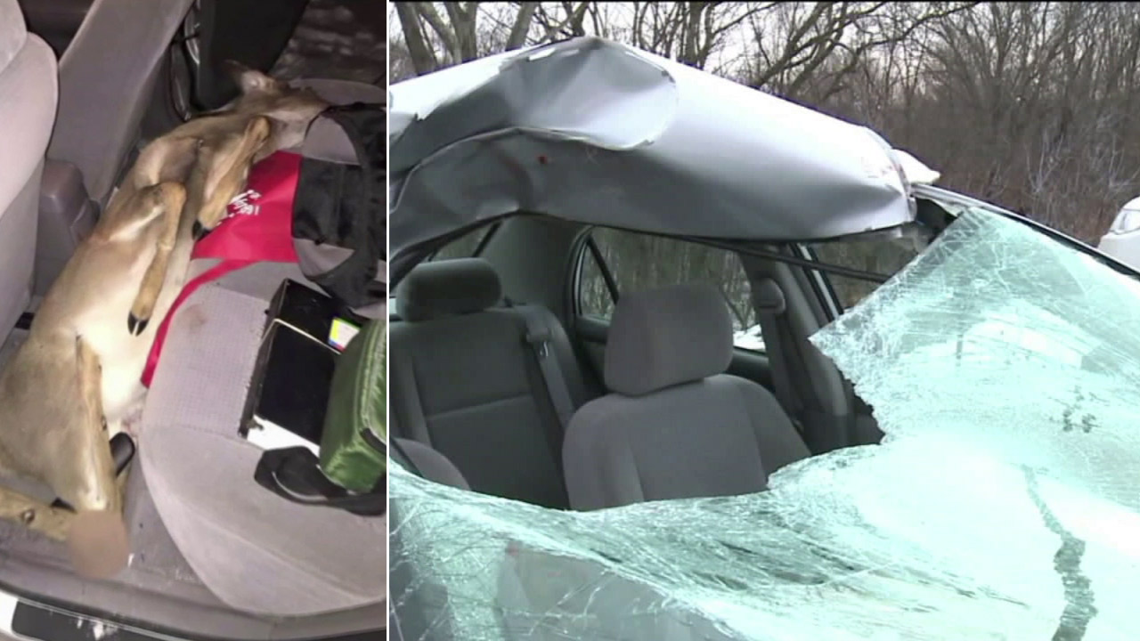 A deer smashed through a Pennsylvania woman's car windshield and ended up dead in the backseat.