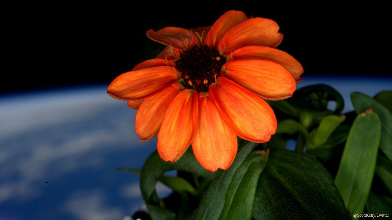 NASA astronaut Scott Kelly shared this photo of a flower grown in space on Jan. 17, 2016.