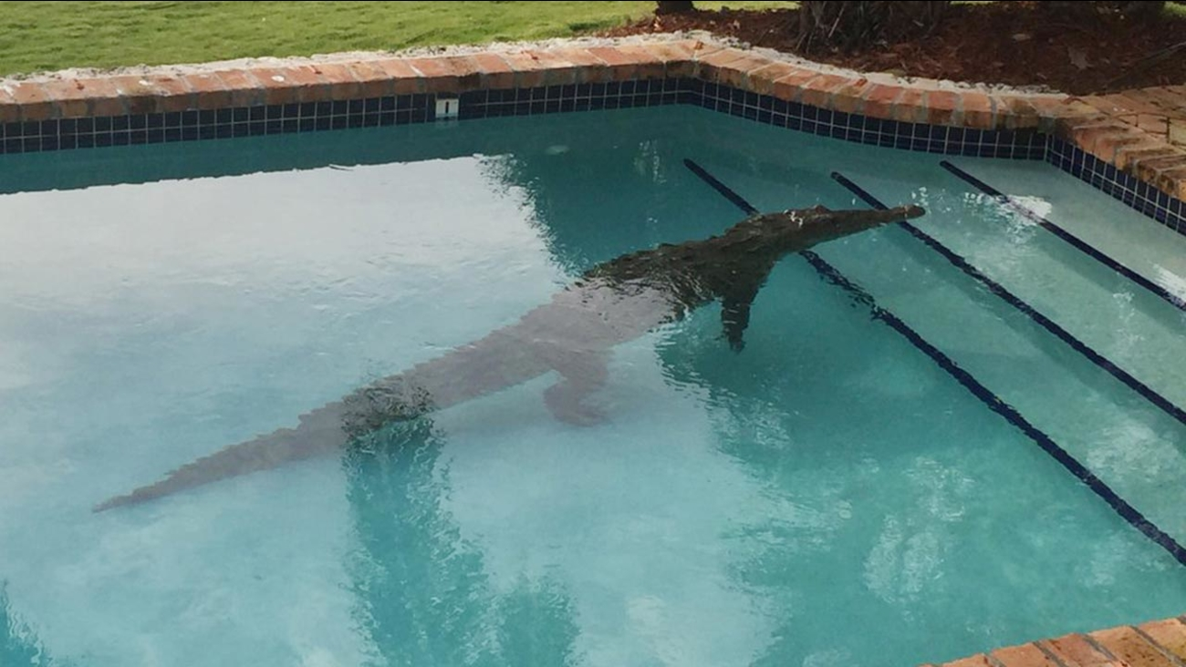 In this photo provided by the Monroe County Sheriff's Office, a crocodile swims in a privately owned pool in Islamorada, Fla., Thursday, Jan. 21, 2016.