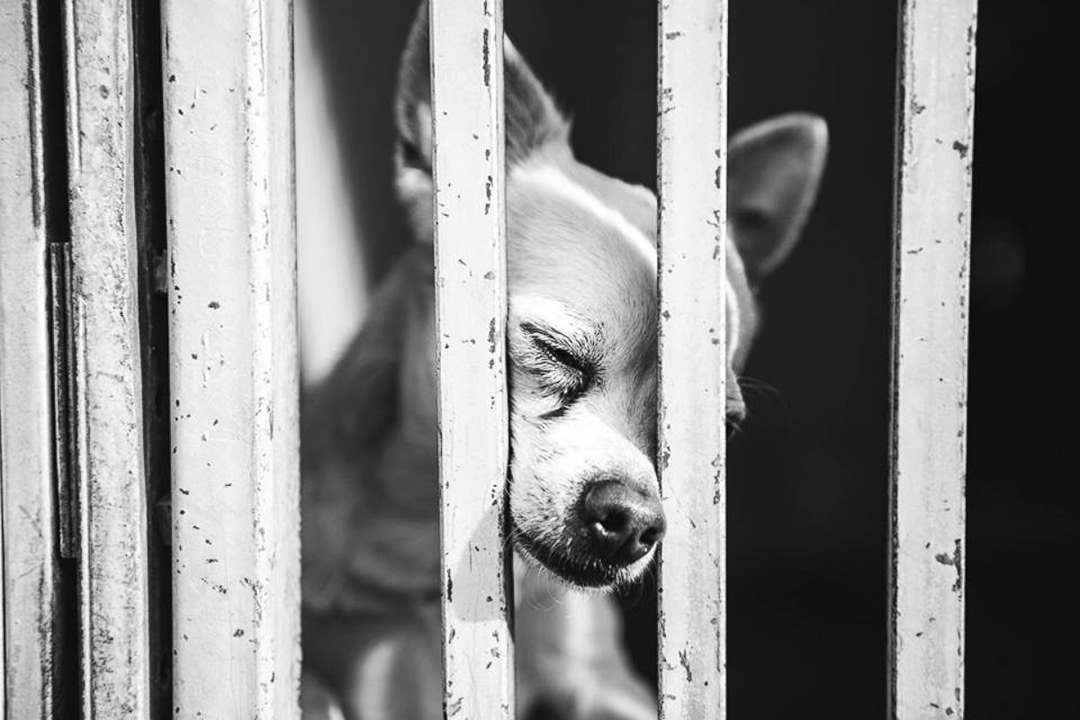 """<div class=""""meta image-caption""""><div class=""""origin-logo origin-image none""""><span>none</span></div><span class=""""caption-text"""">A Chihuahua that was photographed """"praying"""" for love on January 11, 2016 at a shelter in Baldwin Park, Calif. was adopted five days later. (John Hwang)</span></div>"""