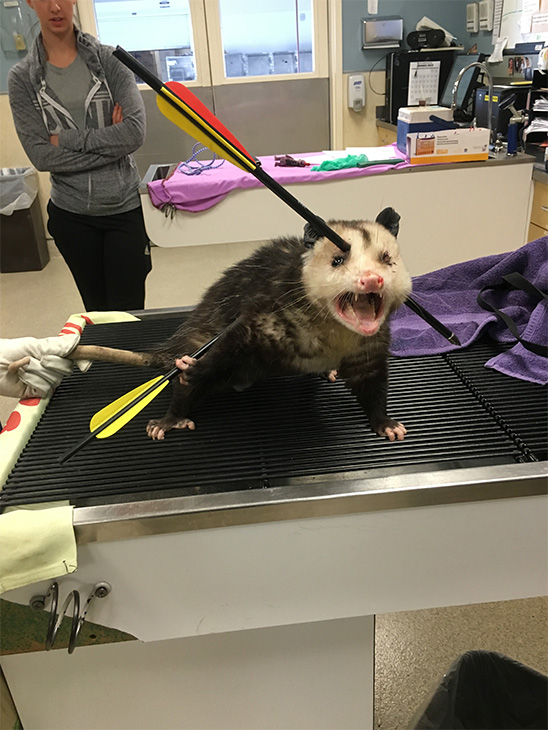 A Riverside County Animal Services officer located an opossum with two crossbow arrows through its body near Hole and Jones avenues in Riverside Friday, Jan. 22, 2016.
