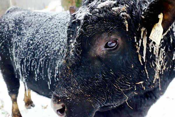 "<div class=""meta image-caption""><div class=""origin-logo origin-image none""><span>none</span></div><span class=""caption-text"">Bull in the snow in Hillsborough.</span></div>"