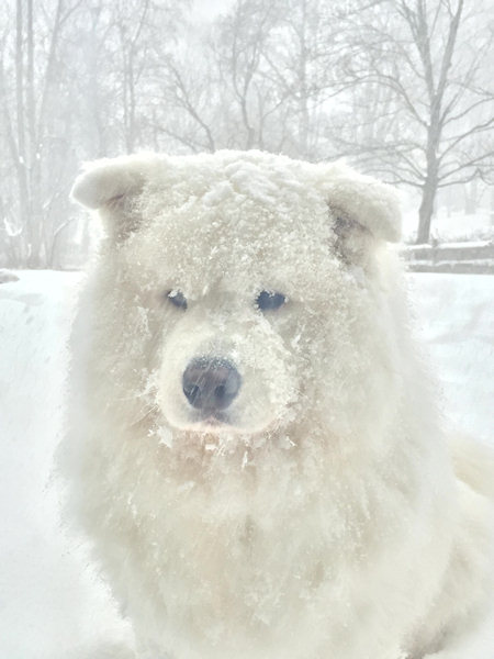 """<div class=""""meta image-caption""""><div class=""""origin-logo origin-image wabc""""><span>WABC</span></div><span class=""""caption-text"""">Bear, my Samoyed was looking into my slider wondering why his brother Blu and I were not outside with him playing . This is for Maximus and the gang I enjoy watching in the morning (Theresa Chrobok)</span></div>"""