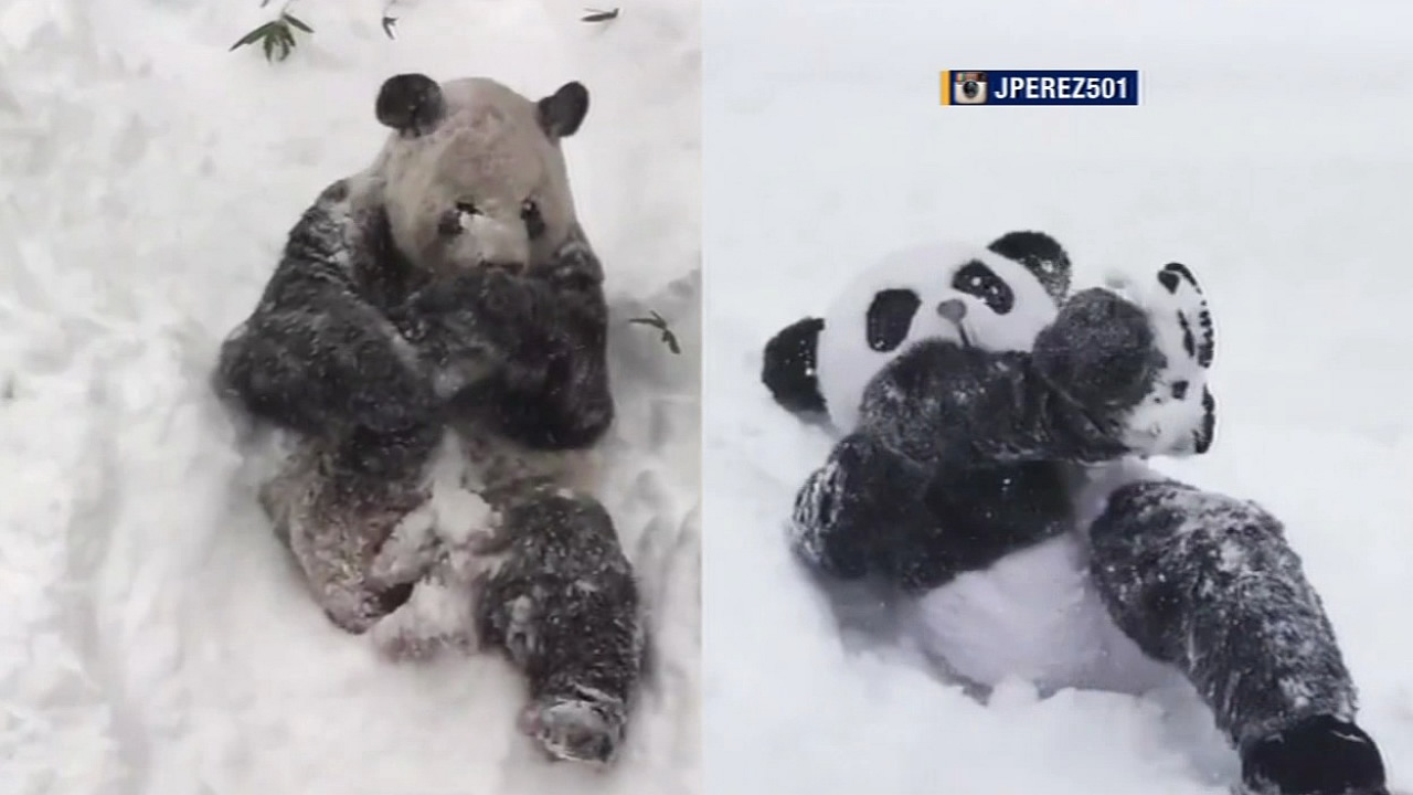 "Jeffrey Perez dressed in his panda suit and challenged actual giant panda bear Tian Tian to a ""snow battle"" on Saturday, January 24, 2016."