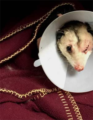 The Riverside County Animal Services released this photo of an opossum found pierced with arrows in Riverside. It lost an eye but did not suffer any life-threatening injuries.