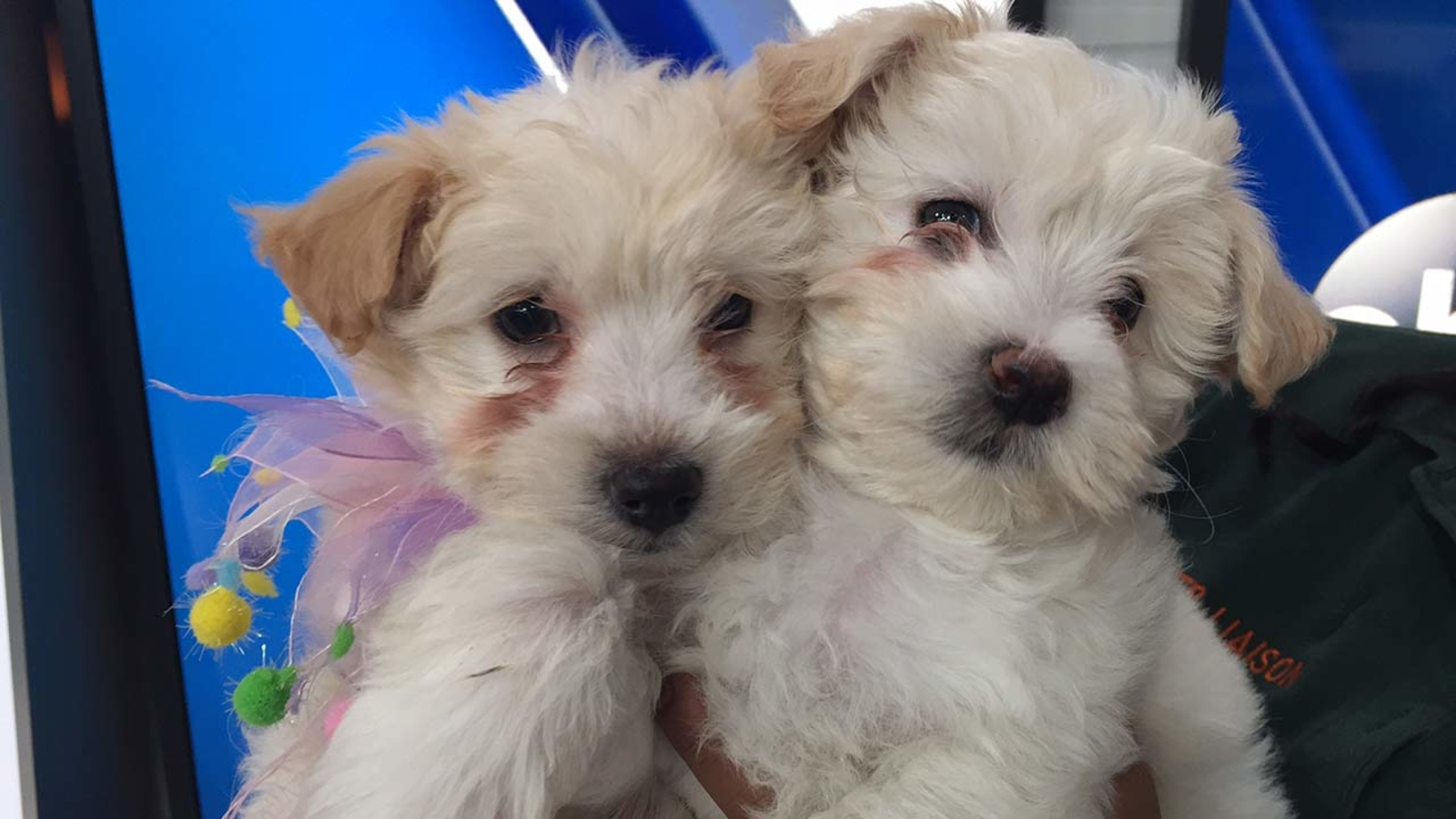 Pet Of The Week 2 Cocker Spaniel And Poodle Mix Puppies -2884