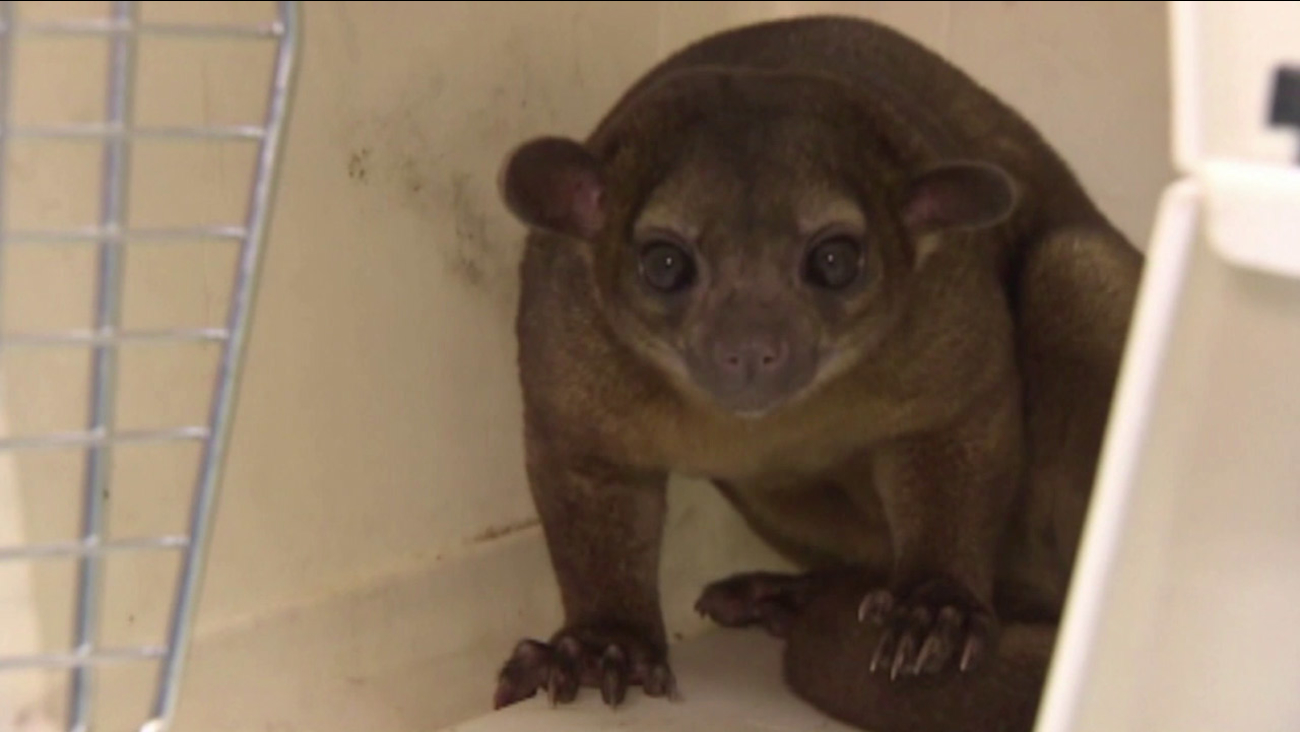 An exotic animal species known as a kinkajou is shown in an undated photo.