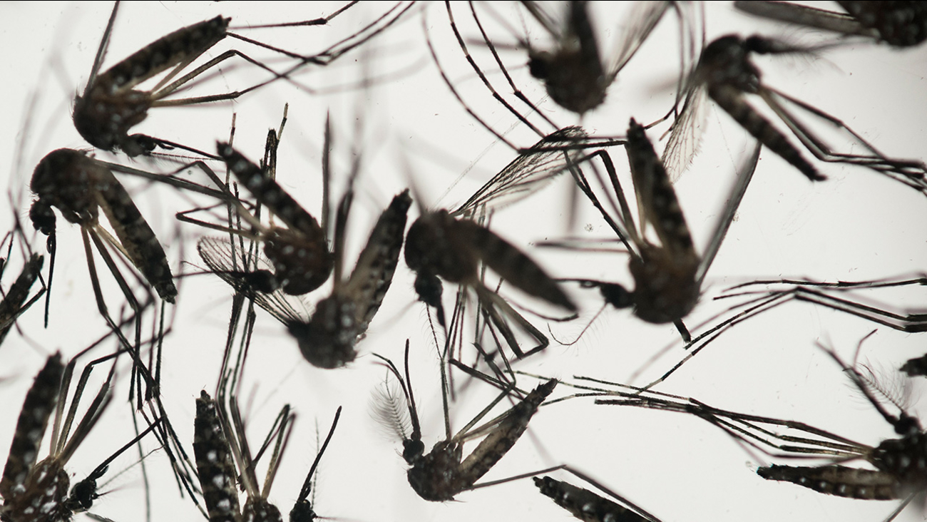 Aedes aegypti mosquitoes sit in a petri dish at the Fiocruz institute in Recife, Pernambuco state, Brazil, Wednesday, Jan. 27, 2016.