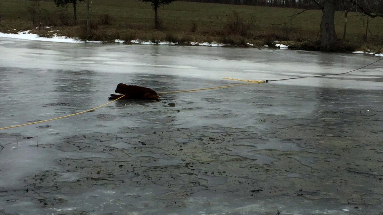 A calf was rescued with the help of a long rope that cause it to slide over the ice on a pond in Indiana.