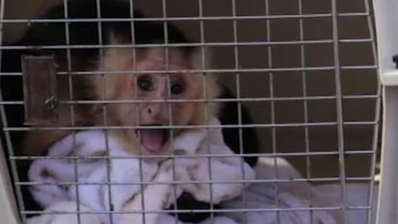 Monkey recovered