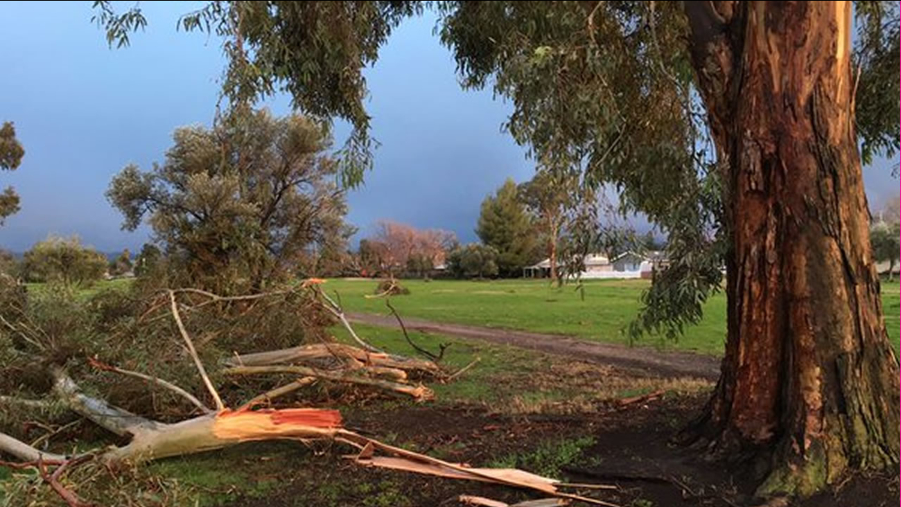 This image shows trees in Livermore, Calif. that were damaged by winds after a wind advisory was issued for parts of the Bay Area Jan. 31. 2015.