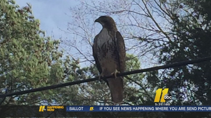 Apex Family Can Only Watch As Hawk Kills Their Tiny Dog Abc11 Raleigh Durham