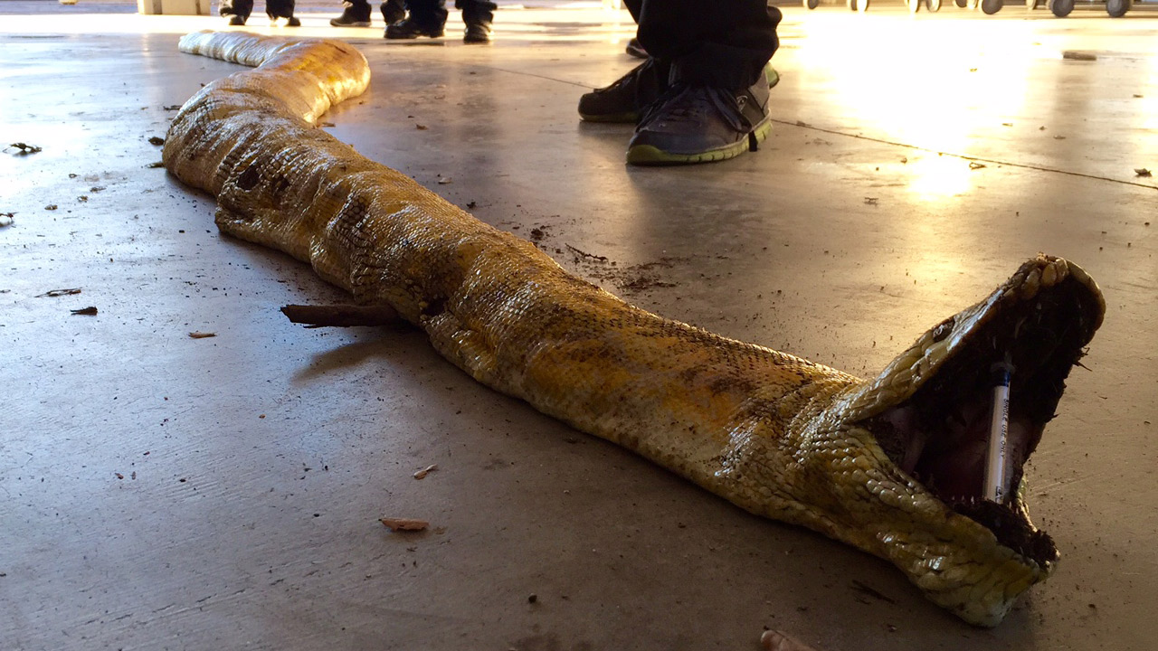 The body of a 17-foot Burmese python is shown after it was found at a Jurupa Valley dump sorting facility on Tuesday, Feb. 2, 2016.