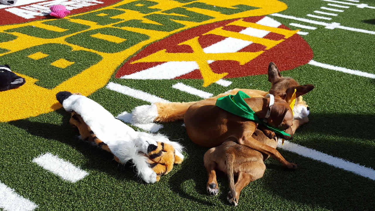 Two puppies play at Animal Planet's Puppy Bowl Cafe in San Francisco on Friday, February 5, 2016.