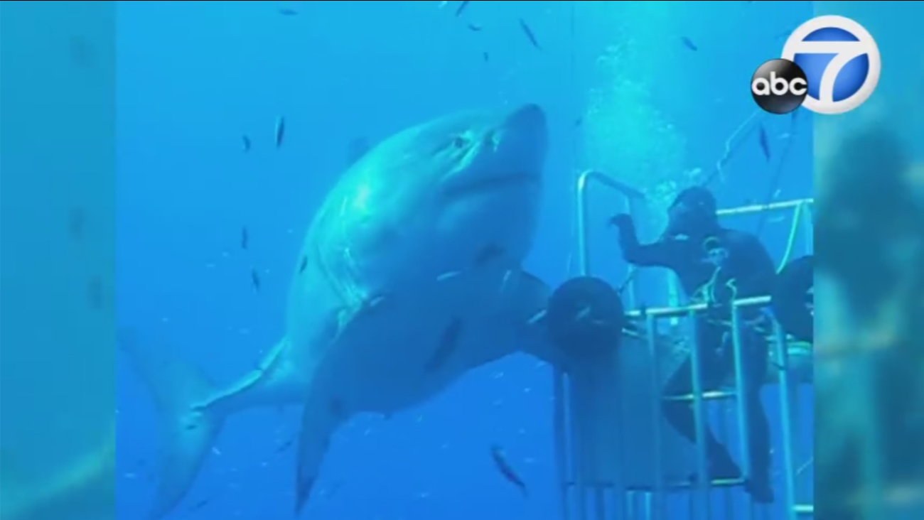 The world's largest great white shark, named Deep Blue, is recorded on video off Guadalupe Island.