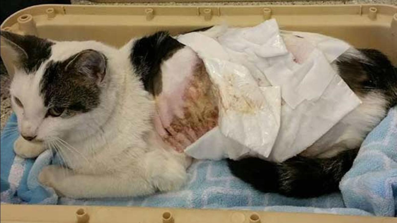 Animal shelter caring for cat scalded by boiling water | abc7chicago com
