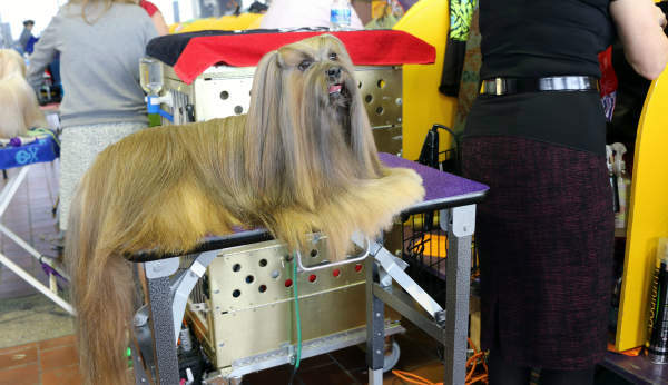 "<div class=""meta image-caption""><div class=""origin-logo origin-image none""><span>none</span></div><span class=""caption-text"">Some of the many dogs participating in the 140th Westminster Kennel Club Dog Show in New York City. (Kristie Gonzales)</span></div>"