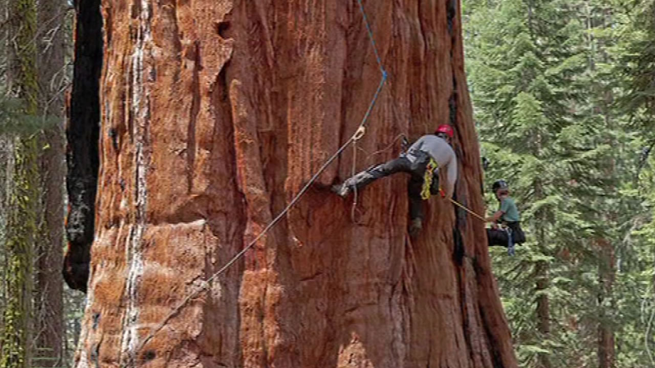 This undated image shows UC Berkeley scientists examining the effects of the drought on the state's giant sequoias.