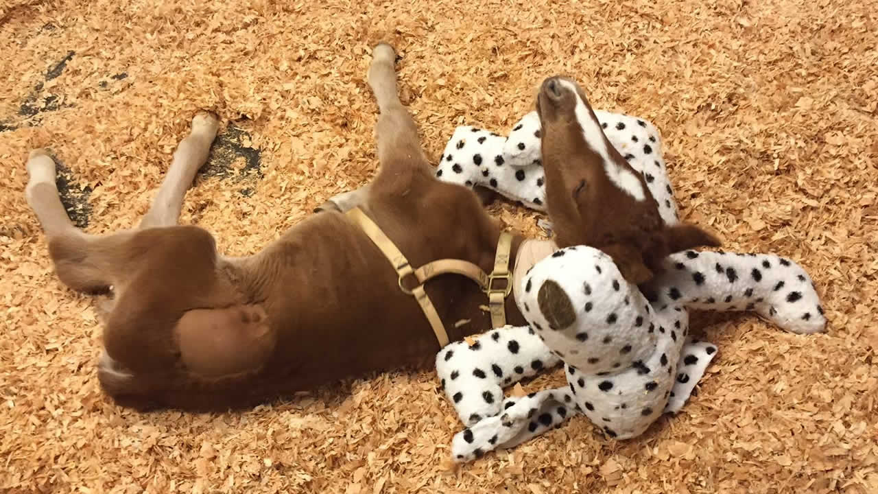 A baby horse that was rescued in Fremont, Calif. on Valentine's Day is seen recovering in Davis, Calif. on Thursday, February 18, 2016.