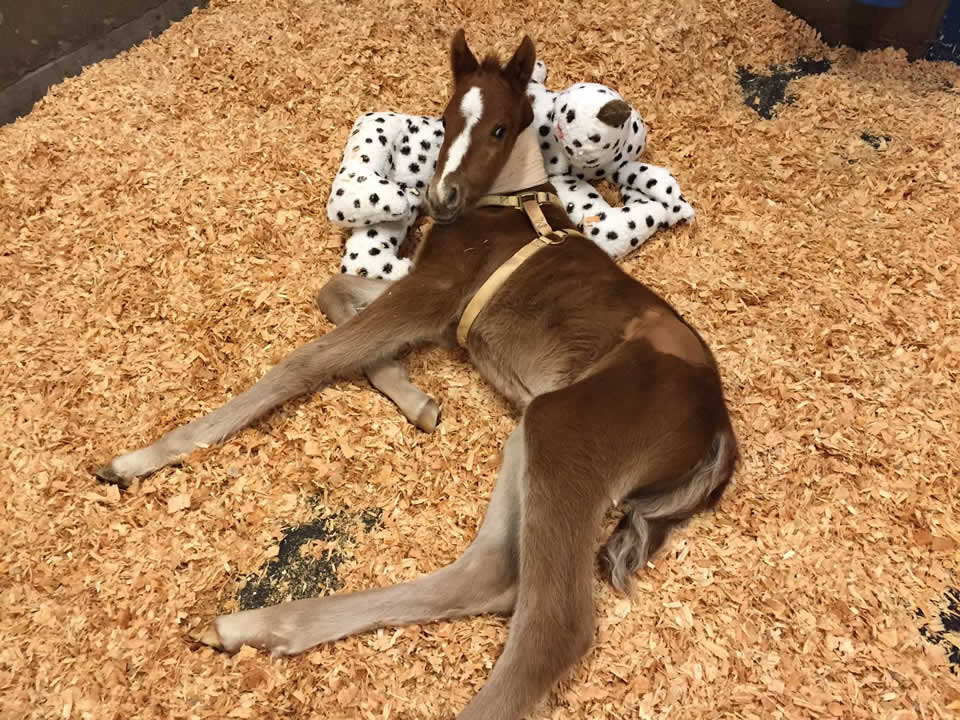 """<div class=""""meta image-caption""""><div class=""""origin-logo origin-image none""""><span>none</span></div><span class=""""caption-text"""">A baby horse that was rescued in Fremont, Calif. on Valentine's Day is seen recovering in Davis, Calif. on Thursday, February 18, 2016. (Fremont Police Department/Facebook)</span></div>"""