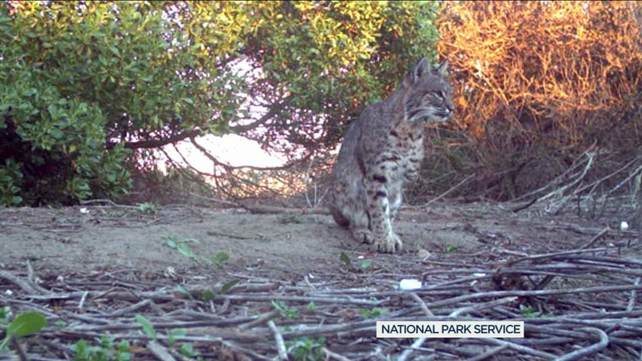 B-337, a three-legged bobcat, was caught by National Park Service biologists in the Santa Monica Mountains National Recreation Area.