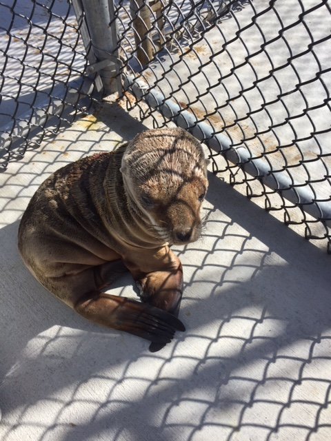 "<div class=""meta image-caption""><div class=""origin-logo origin-image none""><span>none</span></div><span class=""caption-text"">A sea lion pup that was rescued from Highway 1 near Moss Landing is seen at The Marine Mammal Center in Sausalito, Calif. on Monday, February 22, 2016. (The Marine Mammal Center)</span></div>"